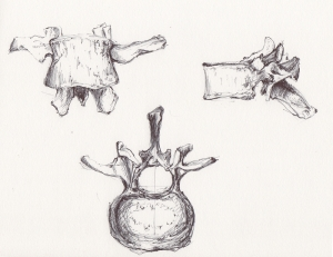 vertebres  1